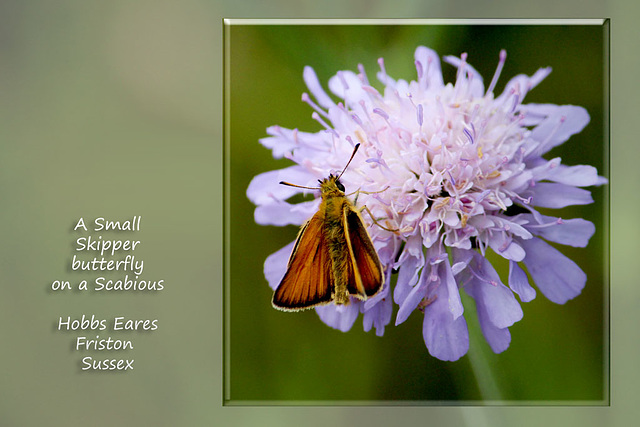 A Small Skipper butterfly - Friston - Sussex - 22.7.2015