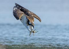balbuzard pecheur  à l'attaque .Pandion haliaetus - Western Osprey