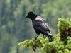 Common Raven in the sun