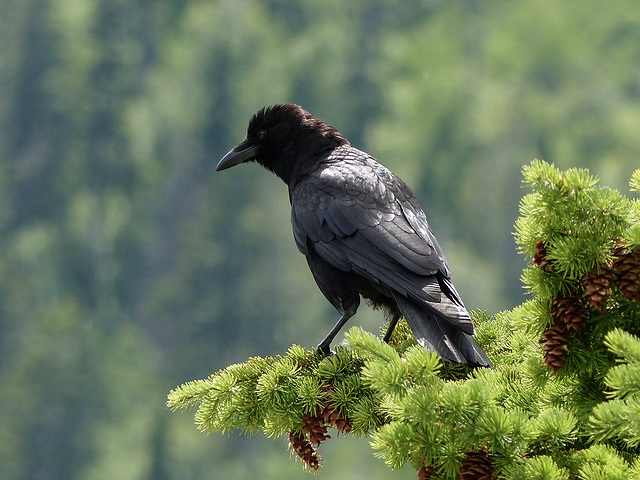 Common Raven in the sun