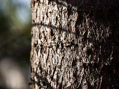 Swiss Stone Pine Bark