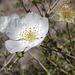 Fallugia paradoxa, Grand Canyon USA L1010413