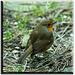 Robin (12)