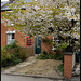 blossom in Magdalen Road