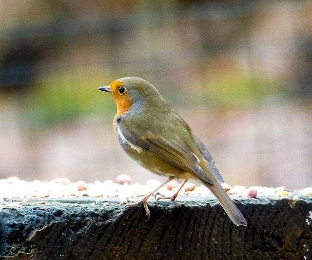 Robin (14)