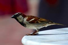 Canada 2016 – Toronto – Sparrow