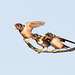 Barn Swallow / Boerenzwaluw (Hirundo rustica)