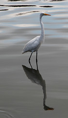 A Great Egret and his reflection