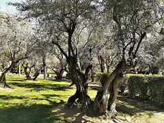 More gnarled olive trees.