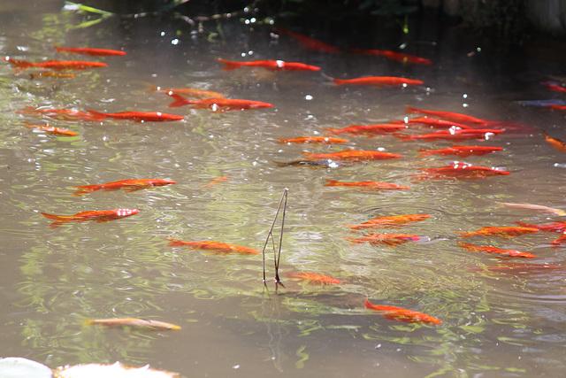 petits poissons rouges