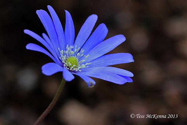 Anemone blanda Explore 065 copy