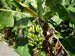 Bananas on our way down.