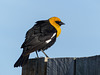 Yellow-headed Blackbird / Xanthocephalus xanthocephalus