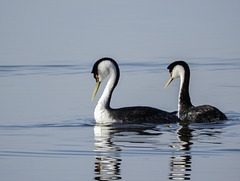 Western Grebes paired up