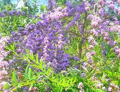 Blaue Blüten - bluaj floroj - Säckelblume