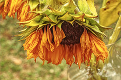 Sunflower in Later Phases