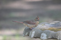 I see you too!    (female Red Bird)
