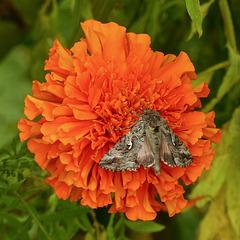 Looper Moth sp.
