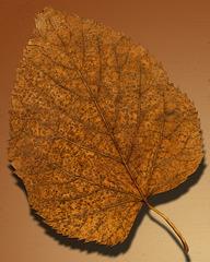 Herbstlaub Pappel