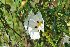 Esteva - Cistus ladanifer subsp. ladanifer