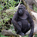 Gorillajunge (Wilhelma)