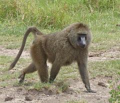 Un babouin mâle