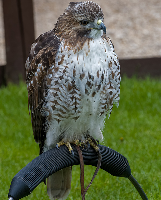Chester cathedral falconry4