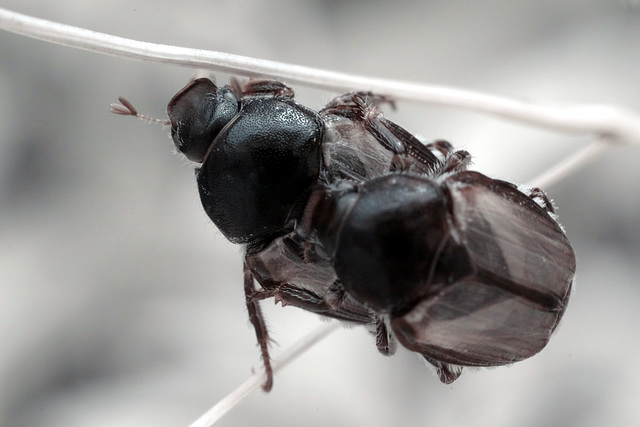 Japanese beetles having a good time
