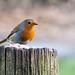 Robin (26)