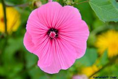Bechermalve (Lavatera trimestris), Sorte 'Pink Beauty'