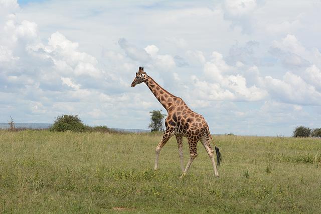 Uganda, Giraffe in the Savannah at Murchison Falls National Park