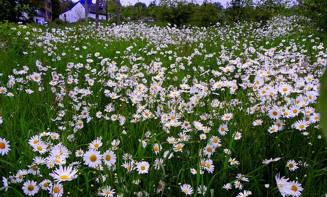 Margriet area(Chrysanthemum)