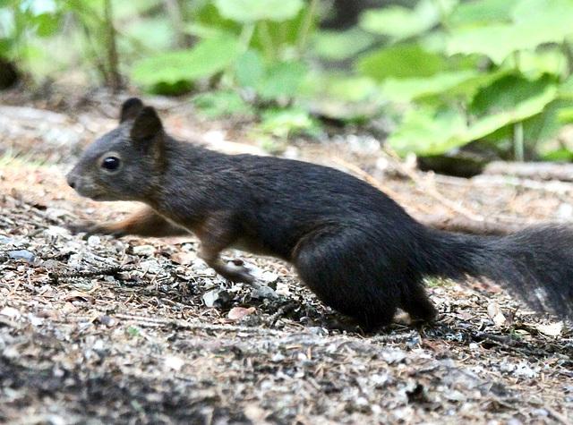 Das Eichhörnchen ist sehr flink