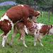 2 (33)...cow love