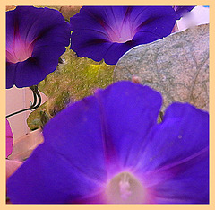 Dark blue (ipomoea)