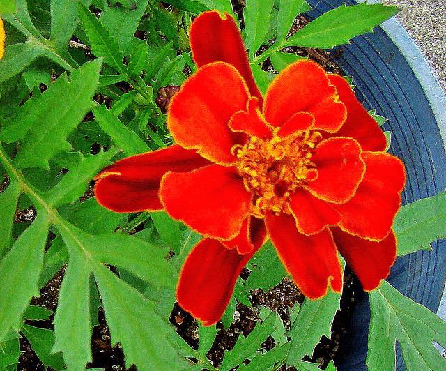 French Marigold.