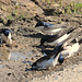Mehlschwalben sammeln Nistmaterial