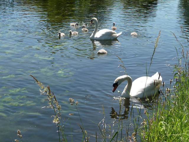 7 Cygnets plus Mum & Dad on the Grand Union Canal ~ Harefield