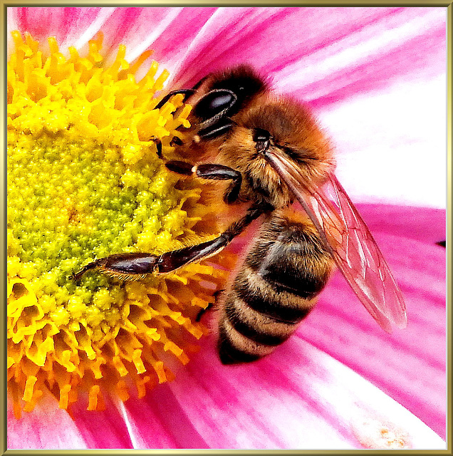 The Bee Maja at Work... ©UdoSm