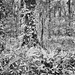 Eureka Springs Ferns