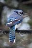 Blue Jay (Explored)