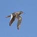 Rotschenkel - fliegend