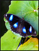 The Great Eggfly Butterfly (Male)