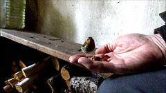 Young Gazebo robin being  handfed