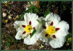 Twins. Cistus, or jara, Sierra de La Cabrera