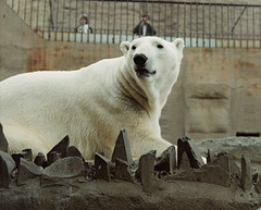 Polar Bear, London Zoo, 1980