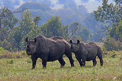 Black Rhino - mother and calf (Explored)