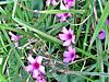 Pink Beach Flowers.