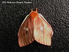 P014RG Cerodirphia sp.?