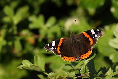 Red Admiral (Vanessa atalanta) butterfly